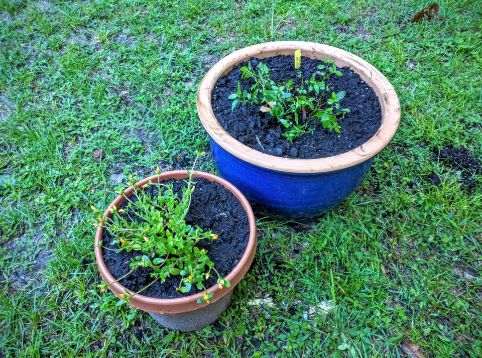 Mint and Purslane in Pots