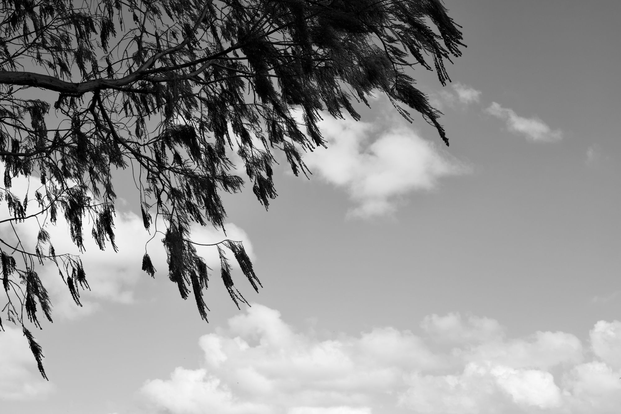 Cypress branch in front of a cloudy sky